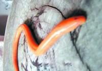 长沙市民捉到有数黄金鳝鱼 专家称是基因变异