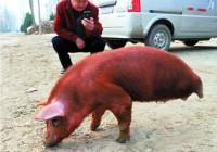 """安徽 """"坚定猪""""靠两条前腿支撑前行"""