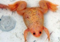 有数橙色透明田鸡 原系非洲爪蟾
