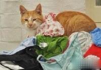 英国13岁老猫稀疏的癖好――偷内裤
