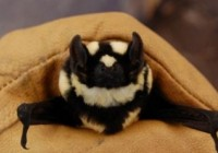 熊猫蝙蝠 有数的怪异新型物种